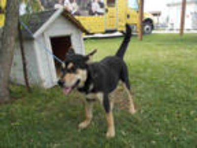 Adopt MILEY a Black - with Tan, Yellow or Fawn German Shepherd Dog / Mixed dog