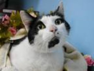 Adopt Yin Yang a Domestic Shorthair / Mixed cat in Portland, OR (25333685)