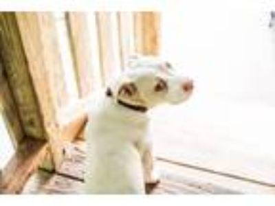 Adopt Carter a White - with Tan, Yellow or Fawn Boxer / Basset Hound / Mixed dog