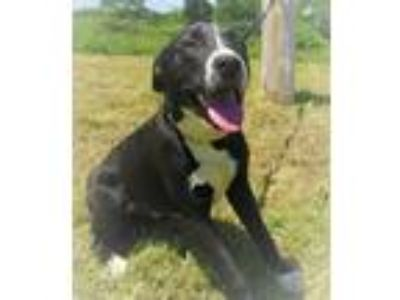 Adopt Arlo a Black - with White Labrador Retriever / Mixed dog in Centerton