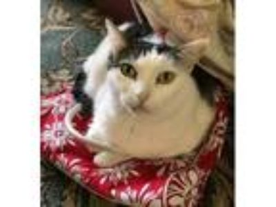 Adopt Belleza (mp) a Turkish Van