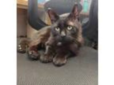 Adopt Wonky Donkey a All Black Domestic Shorthair / Mixed cat in St Paul