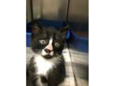 Adopt Eclair a Black & White or Tuxedo Domestic Shorthair (short coat) cat in