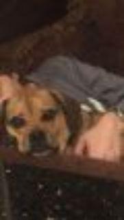 Frankie Pug - Beagle Dog