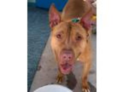 Adopt JJ a Red/Golden/Orange/Chestnut American Pit Bull Terrier / American