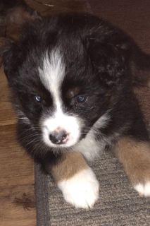Australian Shepherd PUPPY FOR SALE ADN-86183 - CKC Registered Australian Shepherd Puppies