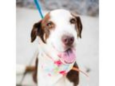 Adopt Petey a Tricolor (Tan/Brown & Black & White) Labrador Retriever / Hound