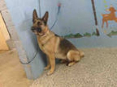 Adopt a Tan/Yellow/Fawn - with Black German Shepherd Dog / Mixed dog in San