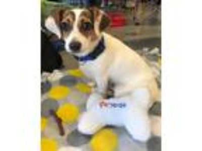 Adopt PACO a White - with Brown or Chocolate Jack Russell Terrier / Mixed dog in