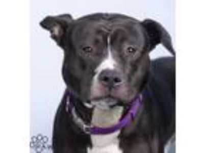 Adopt Opie a Black American Pit Bull Terrier / Mixed dog in Tinley Park