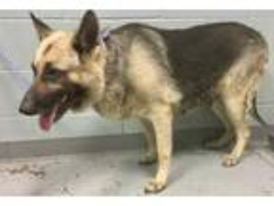 Adopt Molly a Black German Shepherd Dog / Mixed dog in Greenville, SC (25895462)