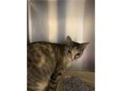 Adopt Nanny Sue Lilly a Domestic Short Hair