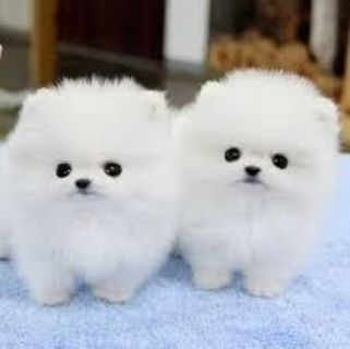 Adorable male and female pomeranian puppies