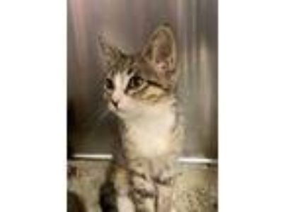 Adopt JAZMINE a Brown Tabby Domestic Shorthair / Mixed (short coat) cat in San