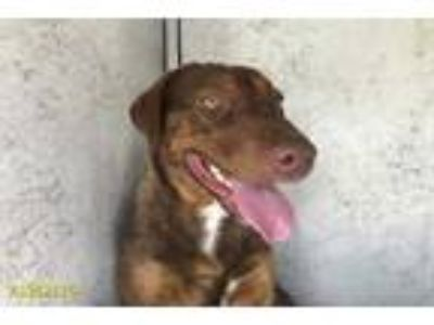Adopt a Brown/Chocolate - with White Labrador Retriever / Mixed dog in West Palm