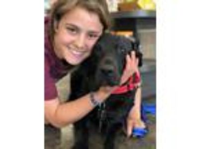 Adopt Charlotte a Black Labrador Retriever / Mixed dog in MARYSVILLE