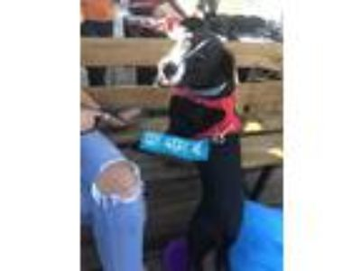 Adopt Dean a Black American Pit Bull Terrier / Mixed dog in Indianapolis