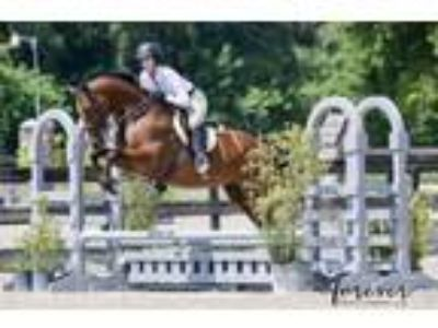 6 yr old Oldenburg Jumper prospect