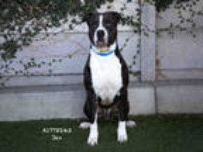 Adopt JAX a Black - with White Mixed Breed (Medium) / American Pit Bull Terrier