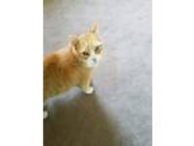 Adopt Rocco a Orange or Red Tabby Domestic Mediumhair / Mixed (medium coat) cat