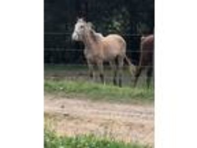 Adopt Spring a Tennessee Walker