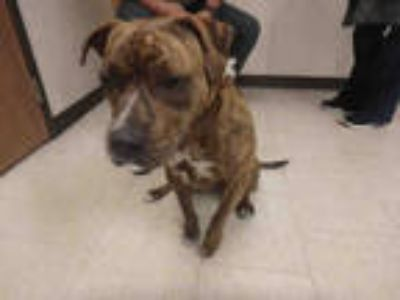 Adopt PENNY a Brindle American Pit Bull Terrier / Mixed dog in Los Angeles