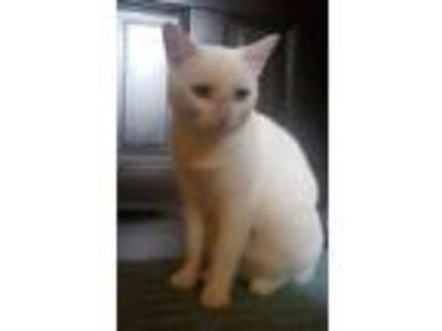 Adopt Ezekial a White Domestic Shorthair / Mixed cat in Philadelphia
