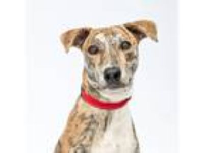 Adopt Opie a Brindle Whippet / Mixed dog in Atlanta, GA (24113663)
