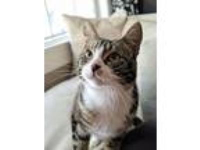 Adopt Indy a Brown Tabby Domestic Shorthair / Mixed (short coat) cat in Alameda