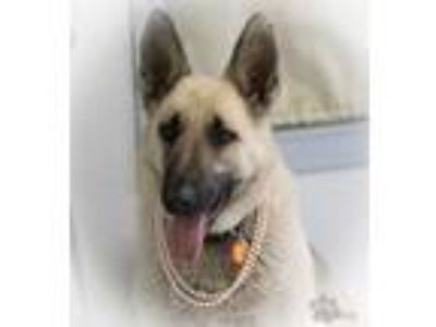 Adopt Harper a German Shepherd Dog