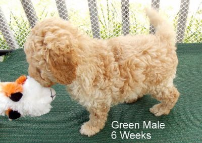 Unknown-Goldendoodle Mix PUPPY FOR SALE ADN-80587 - Mini Goldendoodle Puppies Three Males Available