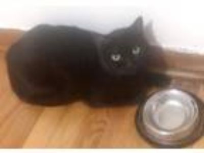 Adopt Luna a All Black Domestic Shorthair / Mixed (short coat) cat in