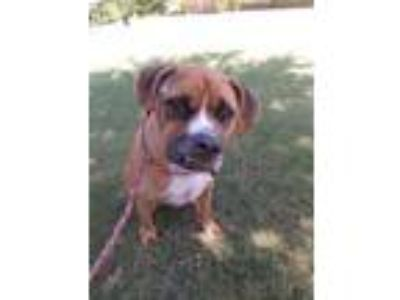 Adopt Indy a Brown/Chocolate Boxer / Mixed dog in Cedar Hill, TX (25812703)