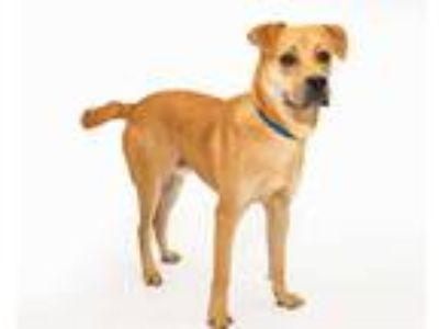 Adopt BOWSER a Tan/Yellow/Fawn Labrador Retriever / Boxer / Mixed dog in