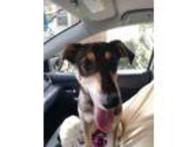 Adopt Abigail Joy a Black - with Tan, Yellow or Fawn German Shepherd Dog /