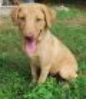 Felix Labrador Retriever Dog