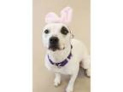 Adopt Delia a Pit Bull Terrier