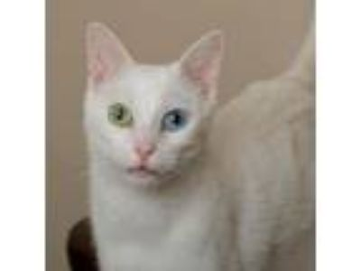 Adopt Opus18 a Domestic Short Hair