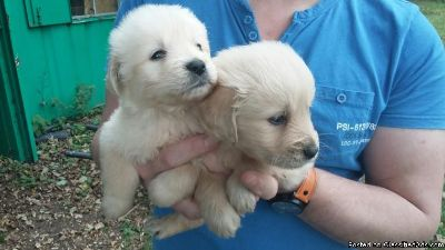 Golden Retriever Puppies - Brigham Classifieds - Claz org