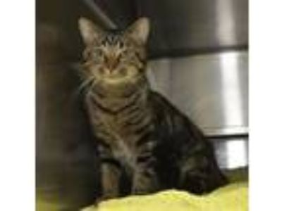 Adopt Barnaby a Domestic Short Hair, Tabby