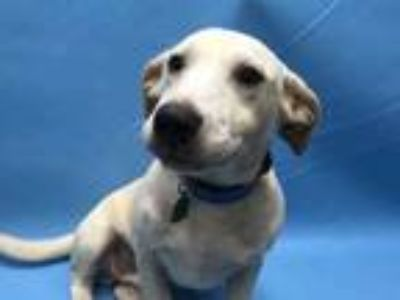 Adopt Zane a Tan/Yellow/Fawn Labrador Retriever / Dachshund / Mixed dog in Coon