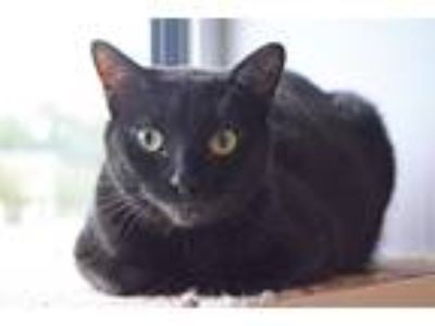 Adopt Sundance a All Black Domestic Shorthair (short coat) cat in Lincoln