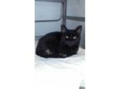 Adopt Starburst a All Black Domestic Shorthair / Domestic Shorthair / Mixed cat