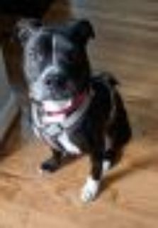 Dollar - Looking for a BFF Pit Bull Terrier - American Staffordshire Terrier Dog