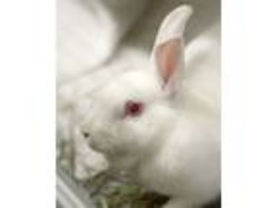 Adopt Pearl a Bunny Rabbit