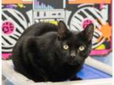 Adopt Jada a All Black Domestic Shorthair / Domestic Shorthair / Mixed cat in