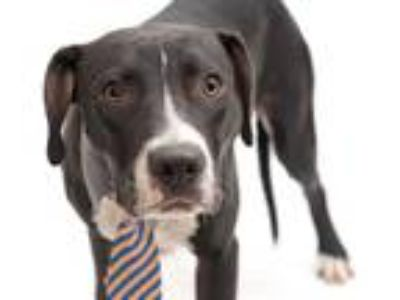 Adopt BLACKIE a Black - with White American Pit Bull Terrier / Mixed dog in