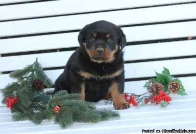 Adorable Rottweiler puppies, that would make fantastic Christmas gifts!