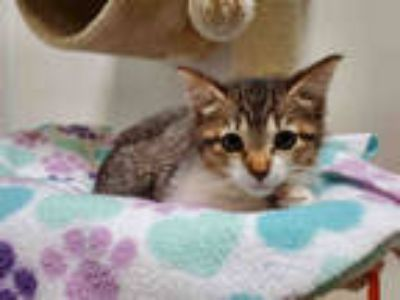 Adopt BECKY a Brown or Chocolate (Mostly) Domestic Shorthair / Mixed (short