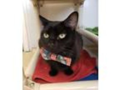 Adopt Alvin from Accounting a All Black Domestic Shorthair / Mixed (short coat)